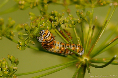 Butterfly caterpillar (species unknown)