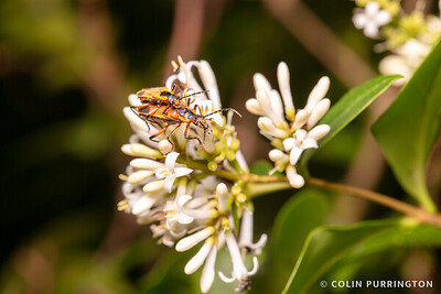 Margined leatherwing beetles