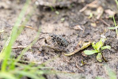 Three-lined tiger beetles