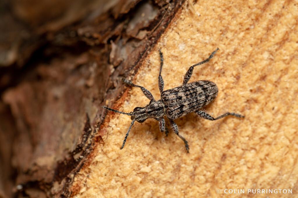 Ribbed pine boreror)