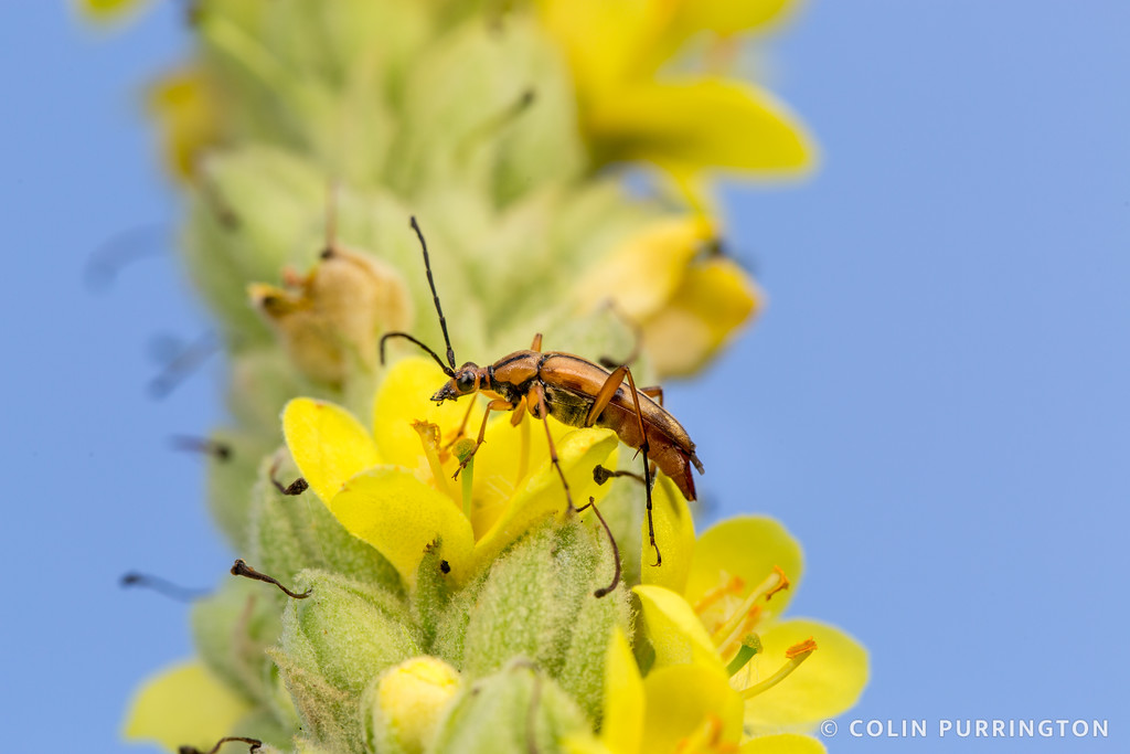 Slender flower longhorn beetle