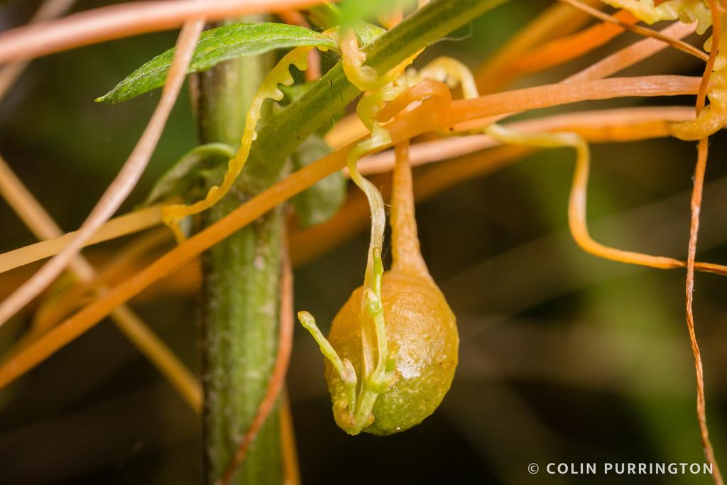 Dodder gall weevil