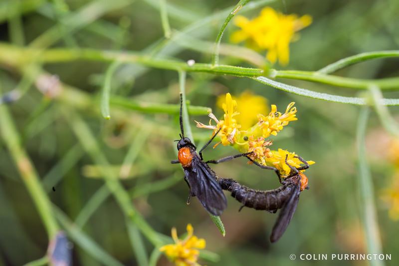 Common lovebugs