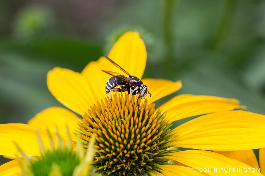 Bald-faced hornet fly