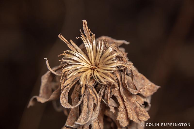 Goldenrod bunch gall