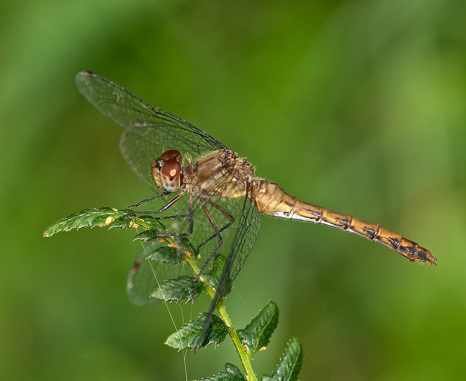 Meadowhawk, female?