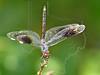 Four-Spotted Pennant Dragonfly (Brachymesia gravida)<br /> San Bernard Wildlife Refuge, Texas