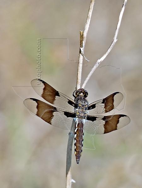 Common Whitetail Dragonfly (Libellula lydia)<br /> Juvenile Male, Nordheim, Texas