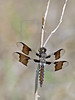 Common Whitetail Dragonfly (Libellula lydia)<br /> Juvenile Male, Nordheim, Texas
