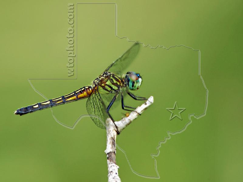 Blue Dasher Dragonfly, (Pachydiplax longipennis) Female,<br /> Nordheim, Texas