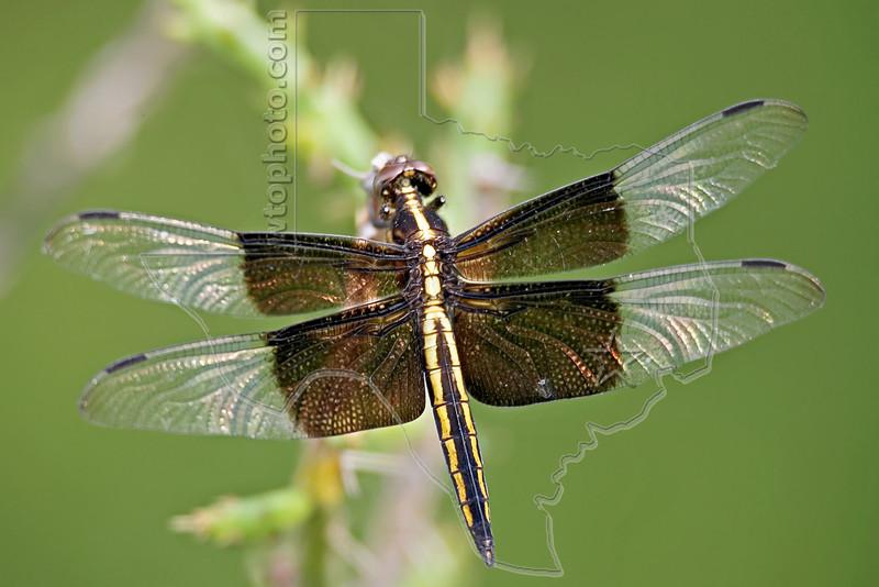 Widow Skimmer Dragonfly,<br /> Nordheim, Texas