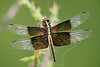 Widow Skimmer Dragonfly,<br /> Nordheim, Texas