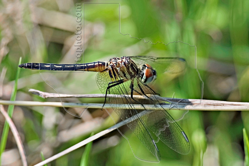 Blue Dasher Dragonfly, (Pachydiplax longipennis)Female,<br /> Nordheim, Texas
