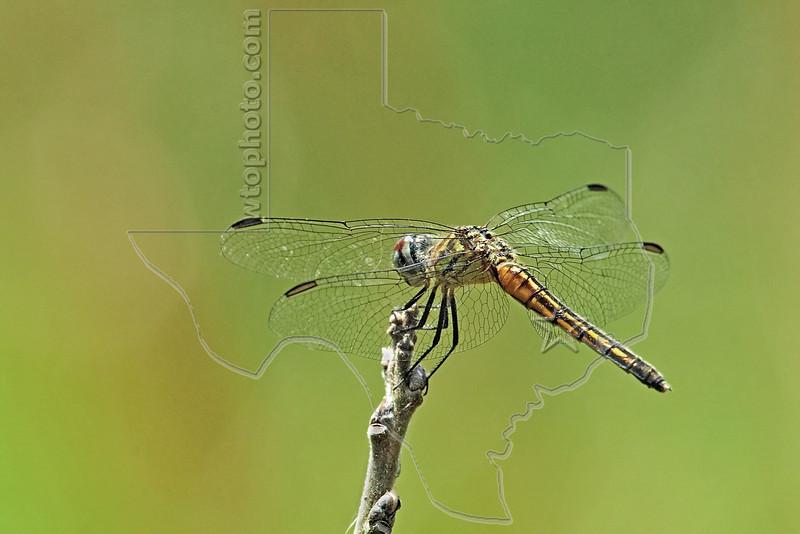 Blue Dasher Dragonfly, (Pachydiplax longipennis), Female,<br /> Nordheim, Texas