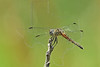 Blue Dasher Dragonfly, (Pachydiplax longipennis), Female,<br /> Nordheim, Texas