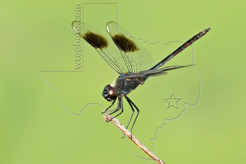 Four-spotted Pennant Dragonfly (Brachymesia gravida), Male,<br /> Brazos Bend State Park, Texas