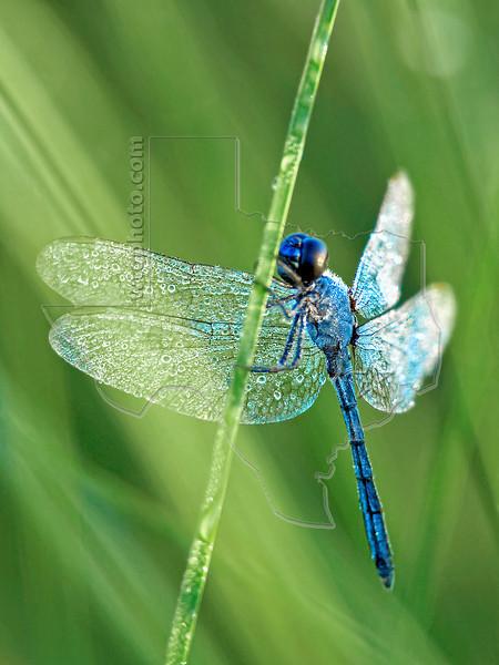 Common Pondhawk Dragonfly (Erythemis simplicicollis), Male, Coverd in Dew,<br /> Brazoria National Wildlife Refuge, Texas