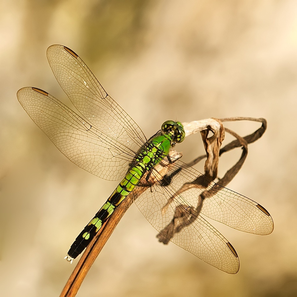 Pondhawk, female