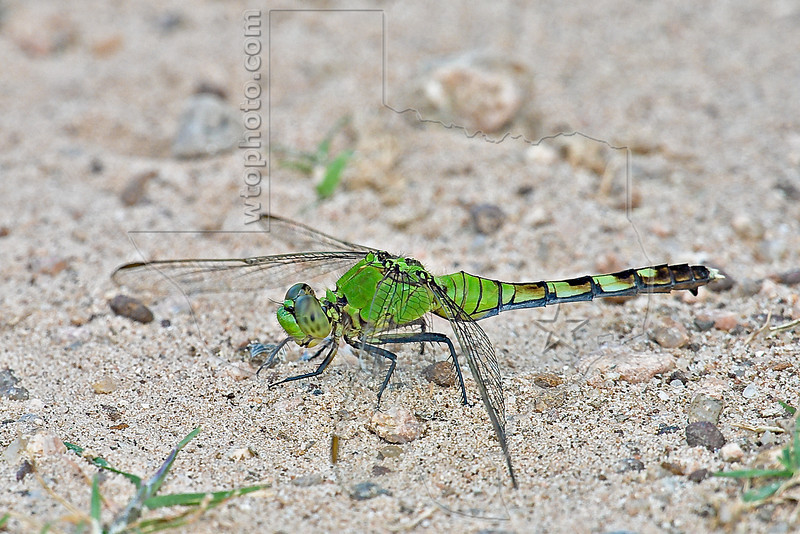 Common Pondhawk Dragonfly (Erythemis simplicicollis), Female,<br /> Brazoria National Wildlife Refuge, Texas