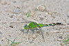 Common Pondhawk Dragonfly (Erythemis simplicicollis), Female,<br /> Brazoria National Wildlife Refuge, Texas
