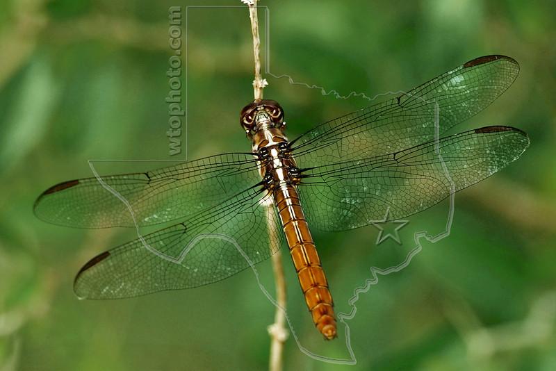 Roseate Skimmer Dragonfly (Orthemis ferruginea),<br /> Nordheim, Texas