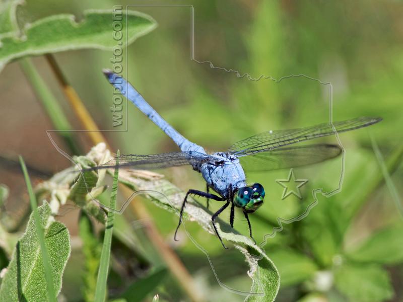 Common Pondhawk Dragonfly (Erythemis simplicicollis), Male,<br /> Brazoria National Wildlife Refuge, Texas