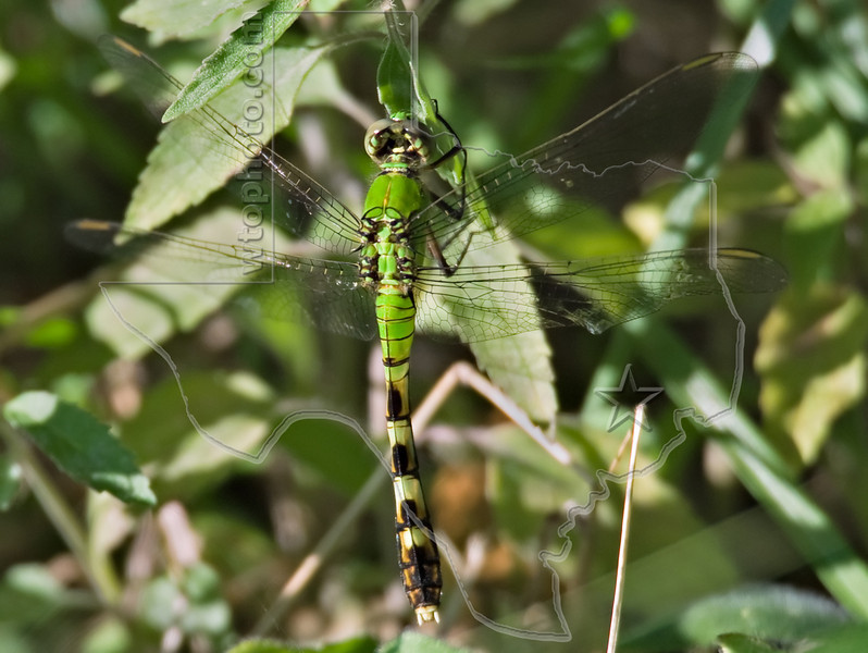 Common Pondhawk Dragonfly (Erythemis simplicicollis), Female,<br /> Nordheim, Texas