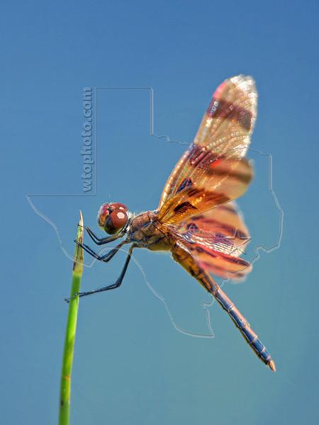 Halloween Pennant Dragonfly (celithemis eponina)<br /> San Bernard Wildlife Refuge, Texas