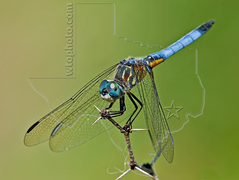Blue Dasher Dragonfly (Pachydiplax longipennis), Male,<br /> Nordheim, Texas