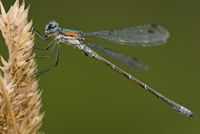 Common Spreadwing Damselfly