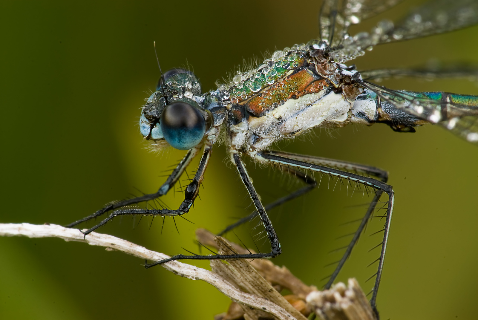 Dew covered macro photograph of Damselfly on Vancouver Island.