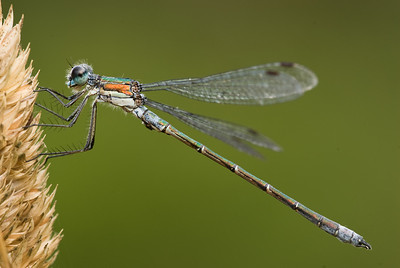 Common Spreadwing Damselfly