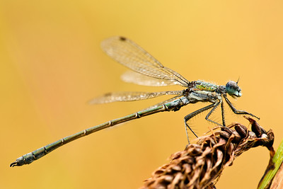 Spread Wing Damselfly