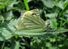green-veined white Pieris napi nettle Gennep 100808 7055 RLLord smg