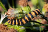 cinnabar moth caterpillar Tyria jacobaeae Moers Germany 120811 ©RLLord 9028 smg