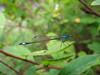 blue-tailed damselfly Ischnura elegans Gennep hedge RLLord 100808 7098 smg