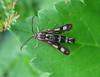 clearwing moth sesiidae Gennep 100808 7114 RLLord smg