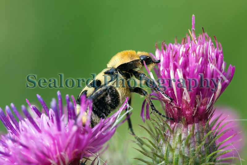 bee beetle Trichius fasciatus on thistle Genneperhuis 130811 ©RLLord 9155 smg
