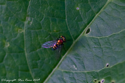 A fly taken with macro lens.