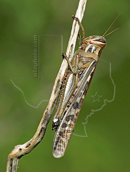 American Bird Grasshopper,<br /> Nordheim, Texas