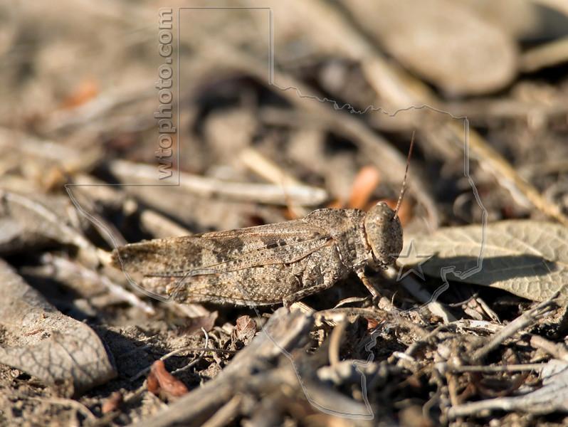 Carolina Grasshopper,<br /> Nordheim, Texas