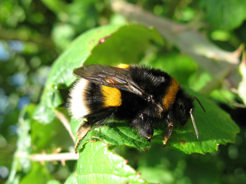 bumble bee field enclosure top Val de Terre 020808 6328 smg