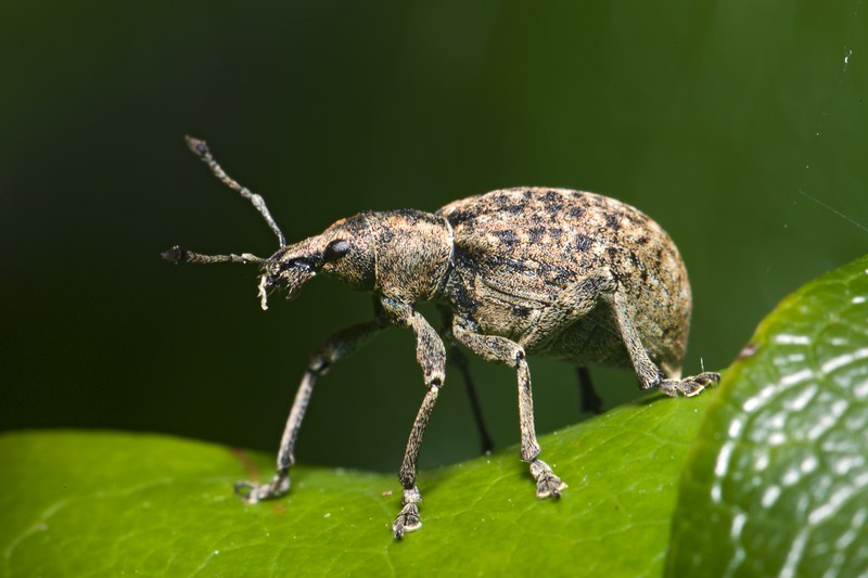 The weevil, Liophloeus tesselatus, on a Rhododendron leaf in a St Peter Port garden, Guernsey on 20th May 2015