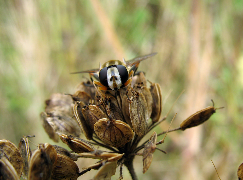 Helophilus hoverfly in field by Fort Road, St Peter Port, Guernsey on 2nd August 2008