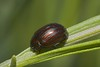 Rosemary beetle on lavender in Guernsey