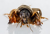 Anterior view of a mole cricket from Guernsey