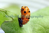 A Harlequin ladybird larvae attached to butter lettuce on 9th May 2009