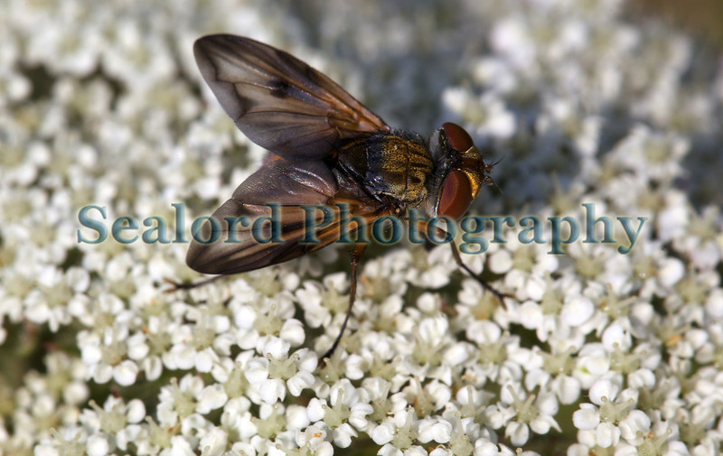 The tachinid fly, Ectophasia crassipennis, at Le Gouffre on Guernsey's south coast on 4th June 2011