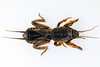 Dorsal view of a small mole cricket from Guernsey