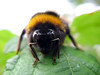 bumble bee field enclosure top Val de Terre 020808 6337 smg